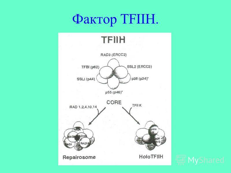 Фактор TFIIH.