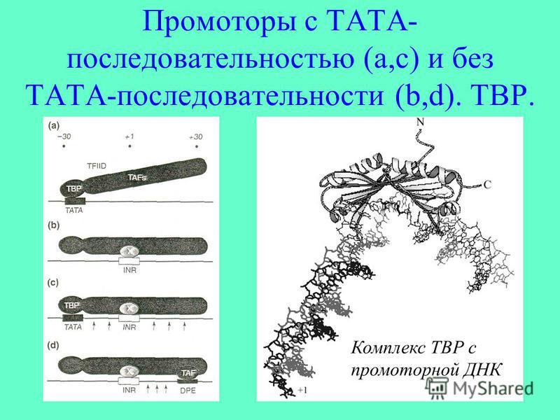 Промоторы с ТАТА- последовательностью (а,с) и без ТАТА-последовательности (b,d). ТВР. Комплекс ТВР с промоторной ДНК