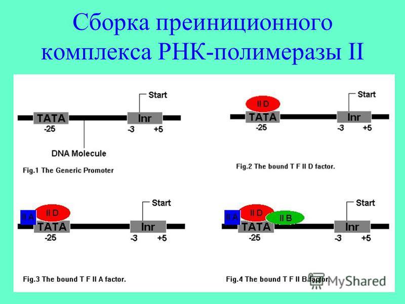 Сборка преиниционного комплекса РНК-полимеразы II
