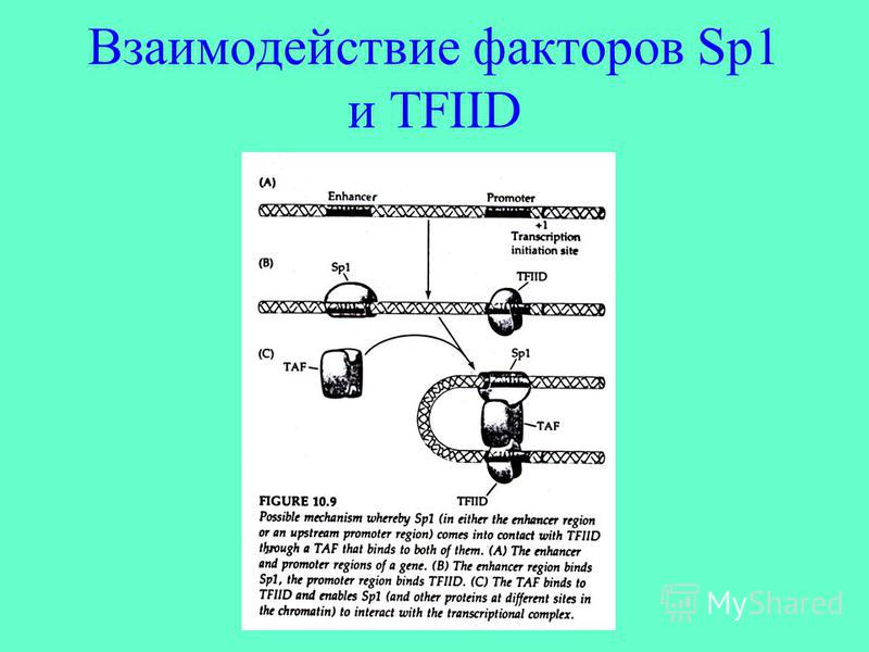 Взаимодействие факторов Sp1 и TFIID