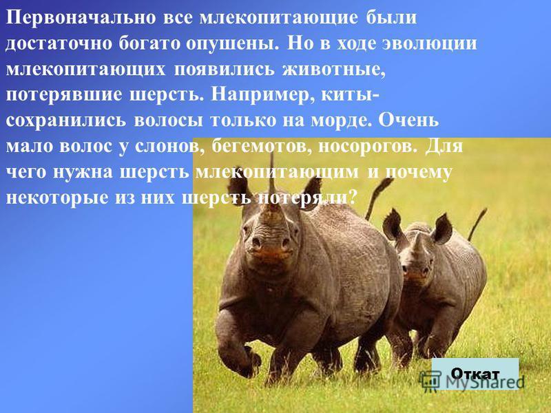 Первоначально все млекопитающие были достаточно богато опушены. Но в ходе эволюции млекопитающих появились животные, потерявшие шерсть. Например, киты- сохранились волосы только на морде. Очень мало волос у слонов, бегемотов, носорогов. Для чего нужн