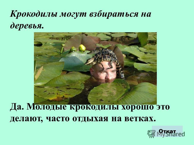 Крокодилы могут взбираться на деревья. Да. Молодые крокодилы хорошо это делают, часто отдыхая на ветках. Откат