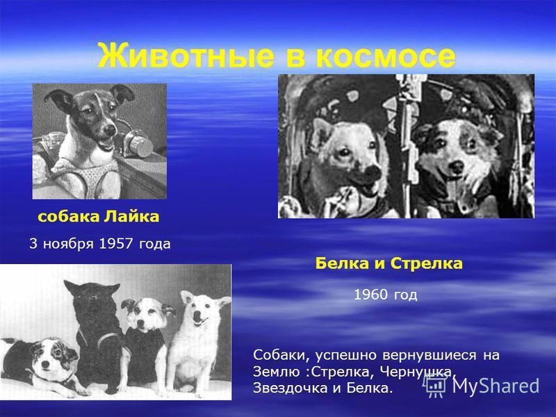 3 ноября 1957 года собака Лайка Животные в космосе Белка и Стрелка 1960 год Собаки, успешно вернувшиеся на Землю :Стрелка, Чернушка, Звездочка и Белка.