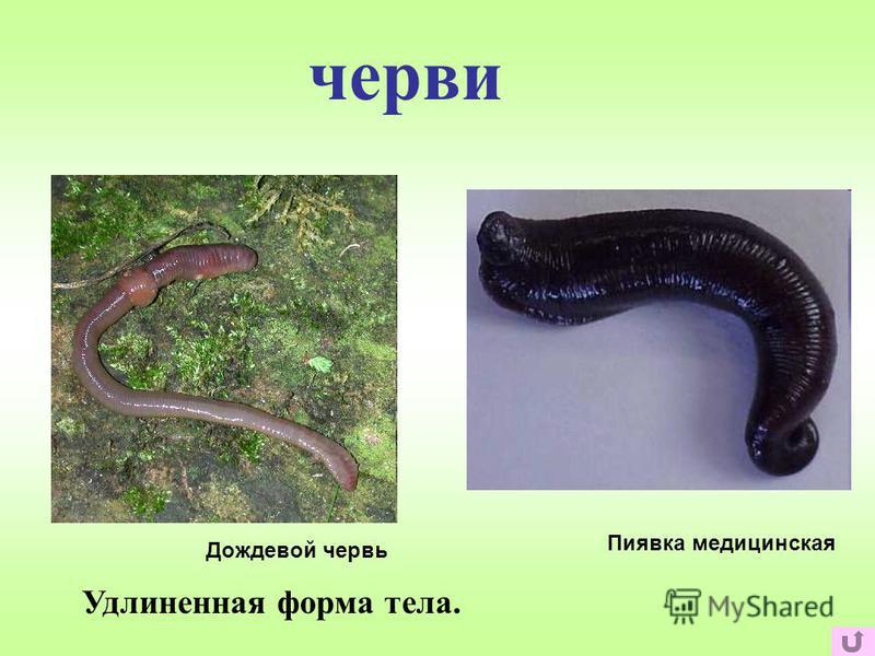 черви Удлиненная форма тела. Дождевой червь Пиявка медицинская