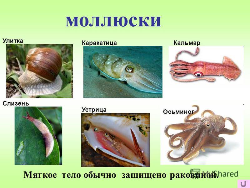 моллюски Мягкое тело обычно защищено раковиной. Улитка Слизень Каракатица Кальмар Осьминог Устрица