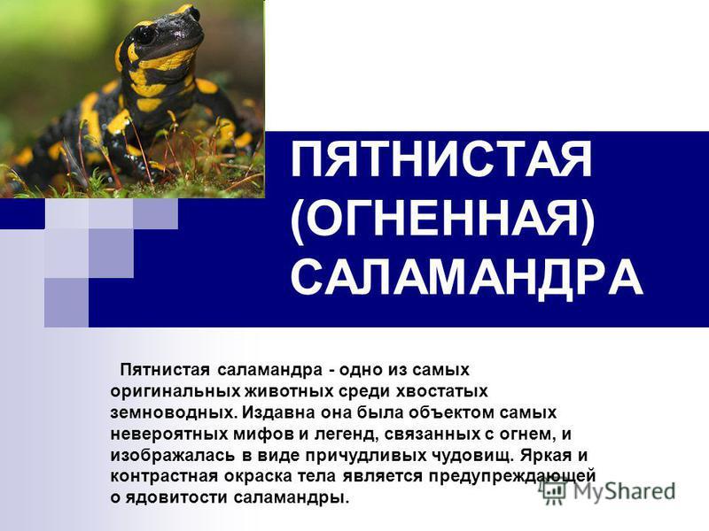 ПЯТНИСТАЯ (ОГНЕННАЯ) САЛАМАНДРА Пятнистая саламандра - одно из самых оригинальных животных среди хвостатых земноводных. Издавна она была объектом самых невероятных мифов и легенд, связанных с огнем, и изображалась в виде причудливых чудовищ. Яркая и