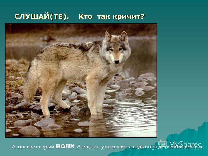 Кто так кричит? Презентация подготовлена на занятие по РСВ тема: Голоса животных: волк, ёжик, корова