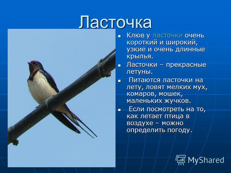 Ласточка Клюв у ласточки очень короткий и широкий, узкие и очень длинные крылья. Клюв у ласточки очень короткий и широкий, узкие и очень длинные крылья. Ласточки – прекрасные летуны. Ласточки – прекрасные летуны. Питаются ласточки на лету, ловят мелк