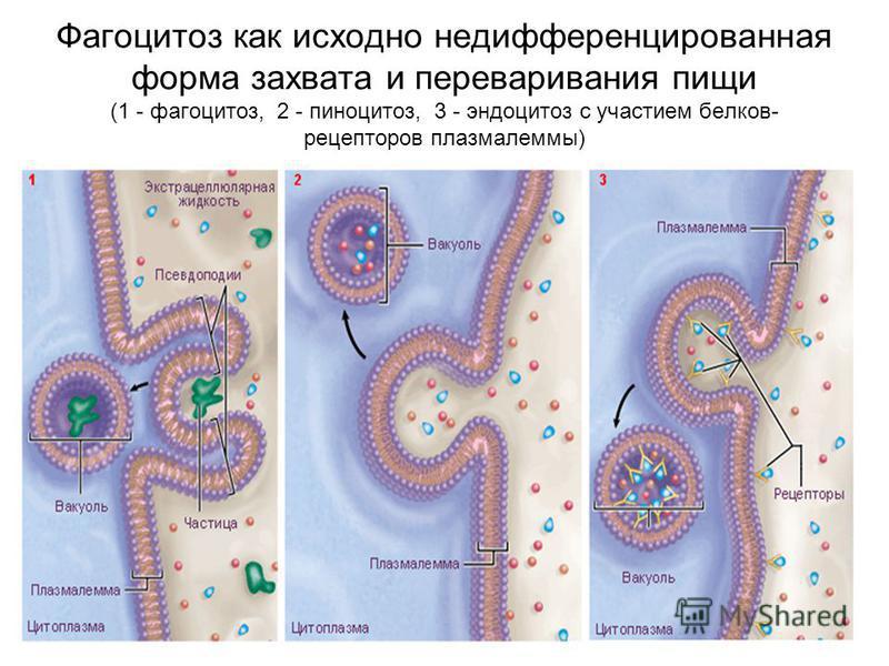 Фагоцитоз как исходно недифференцированная форма захвата и переваривания пищи (1 - фагоцитоз, 2 - пиноцитоз, 3 - эндоцитоз с участием белков- рецепторов плазмалеммы)