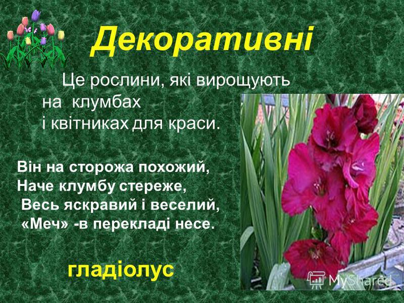 Декоративні Це рослини, які вирощують на клумбах і квітниках для краси. Він на сторожа похожий, Наче клумбу стереже, Весь яскравий і веселий, «Меч» -в перекладі несе. гладіолус
