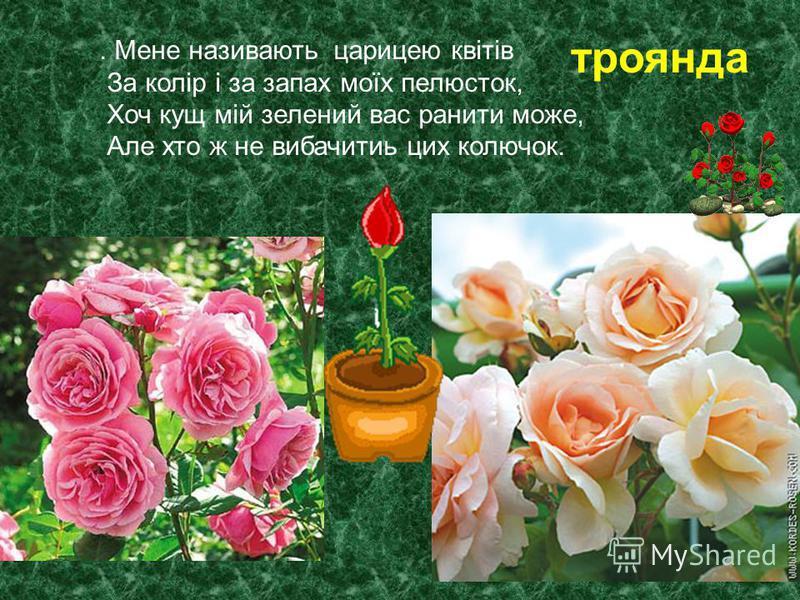 . Мене називають царицею квітів За колір і за запах моїх пелюсток, Хоч кущ мій зелений вас ранити може, Але хто ж не вибачитиь цих колючок. троянда