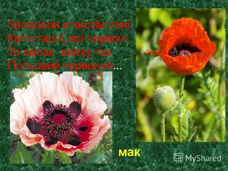 Запалали в чистім полі Квіти гарні, всі червоні. То палає влітку так Польовий червоний … мак
