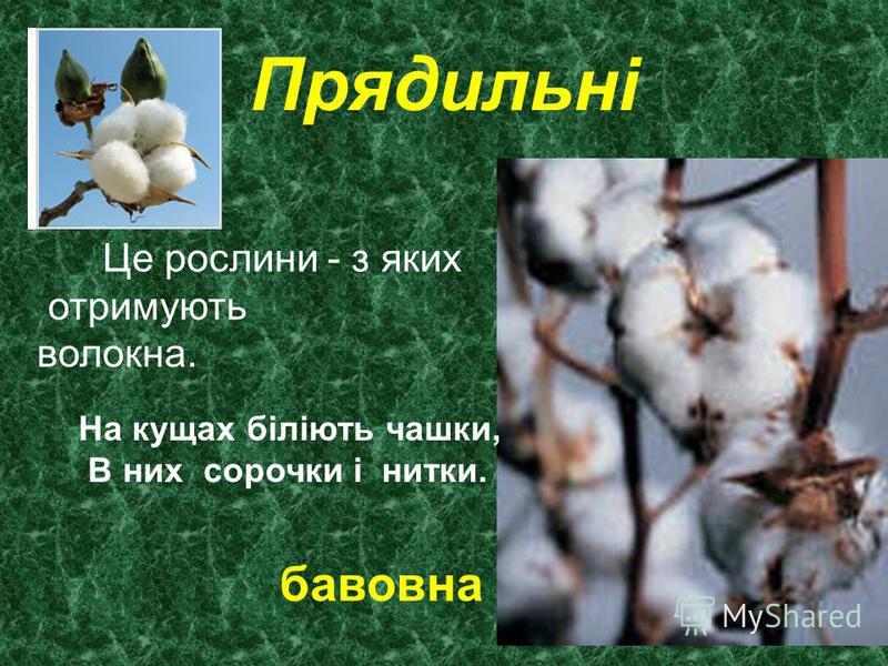 Прядильні Це рослини - з яких отримують волокна. На кущах біліють чашки, В них сорочки і нитки. бавовна