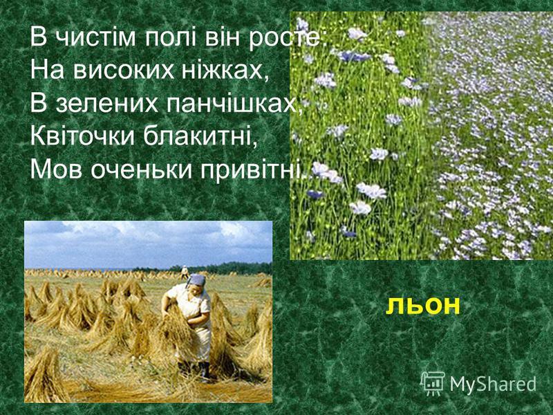 В чистім полі він росте: На високих ніжках, В зелених панчішках, Квіточки блакитні, Мов оченьки привітні. … льон