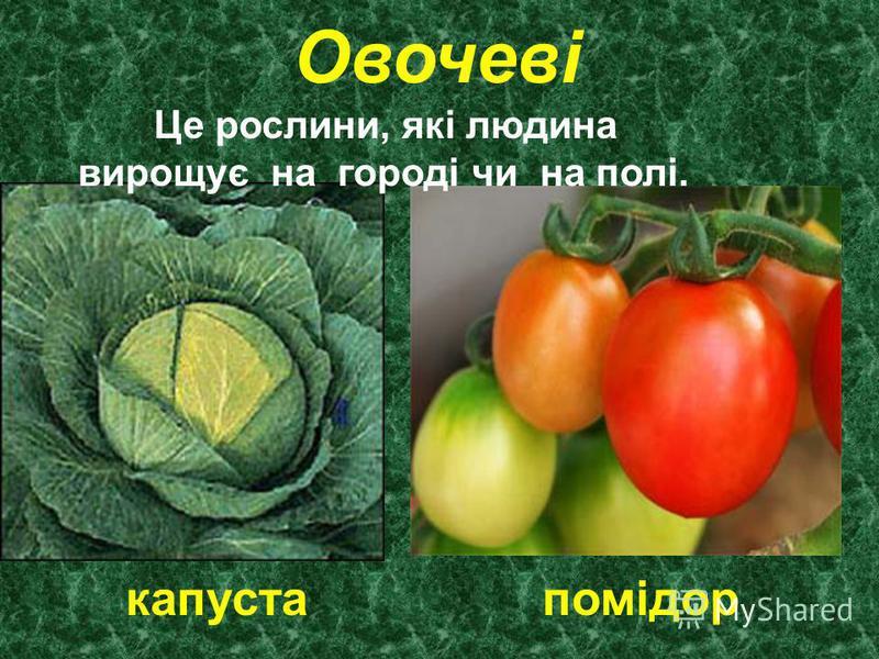 Овочеві Це рослини, які людина вирощує на городі чи на полі. капуста помідор
