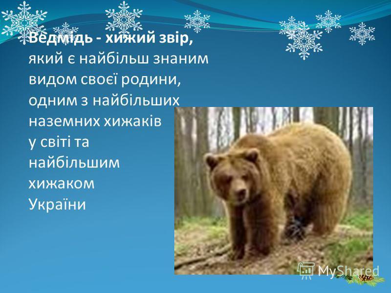Ведмідь - хижий звір, який є найбільш знаним видом своєї родини, одним з найбільших наземних хижаків у світі та найбільшим хижаком України