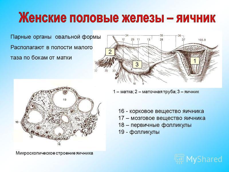 Парные органы овальной формы Располагают в полости малого таза по бокам от матки 1 – матка; 2 – маточная труба; 3 – яичник 1 2 3 Микроскопическое строение яичника 16 - корковое вещество яичника 17 – мозговое вещество яичника 18 – первичные фолликулы