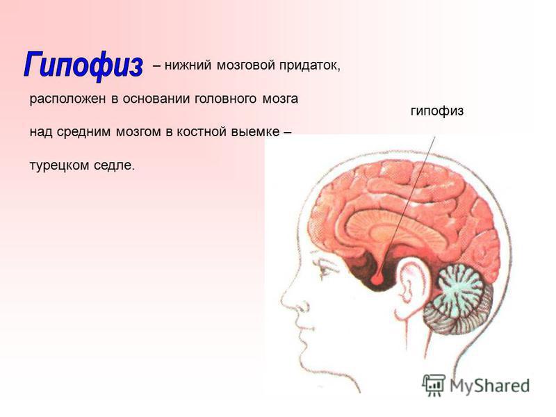 – нижний мозговой придаток, расположен в основании головного мозга над средним мозгом в костной выемке – турецком седле. гипофиз