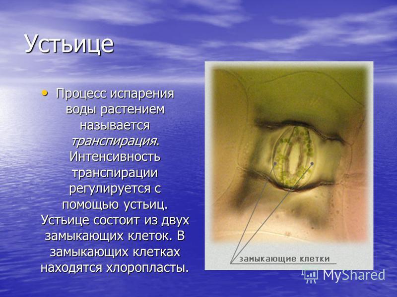 Устьице Процесс испарения воды растением называется транспирация. Интенсивность транспирации регулируется с помощью устьиц. Устьице состоит из двух замыкающих клеток. В замыкающих клетках находятся хлоропласты. Процесс испарения воды растением называ