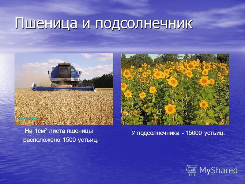 Пшеница и подсолнечник На 1 см 2 листа пшеницы расположено 1500 устьиц. У подсолнечника - 15000 устьиц.
