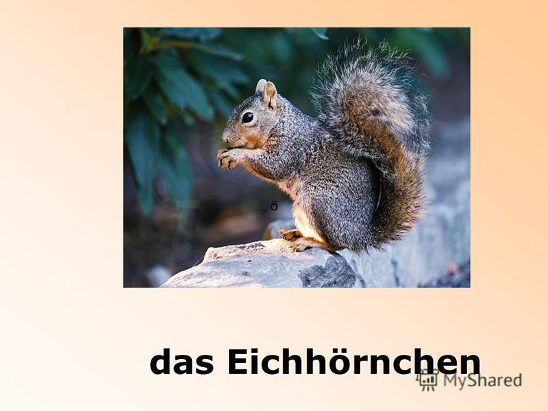 das Eichhörnchen ö