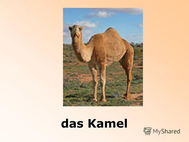 das Kamel