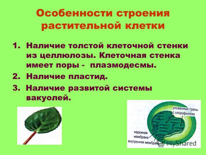 Особенности строения растительной клетки 1. Наличие толстой клеточной стенки из целлюлозы. Клеточная стенка имеет поры - плазмодесмы. 2. Наличие пластид. 3. Наличие развитой системы вакуолей.