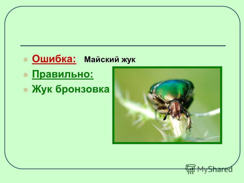 Ошибка: Правильно: Жук бронзовка Майский жук