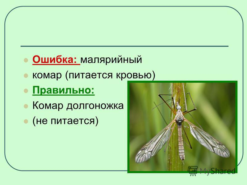 Ошибка: малярийный комар (питается кровью) Правильно: Комар долгоножка (не питается)