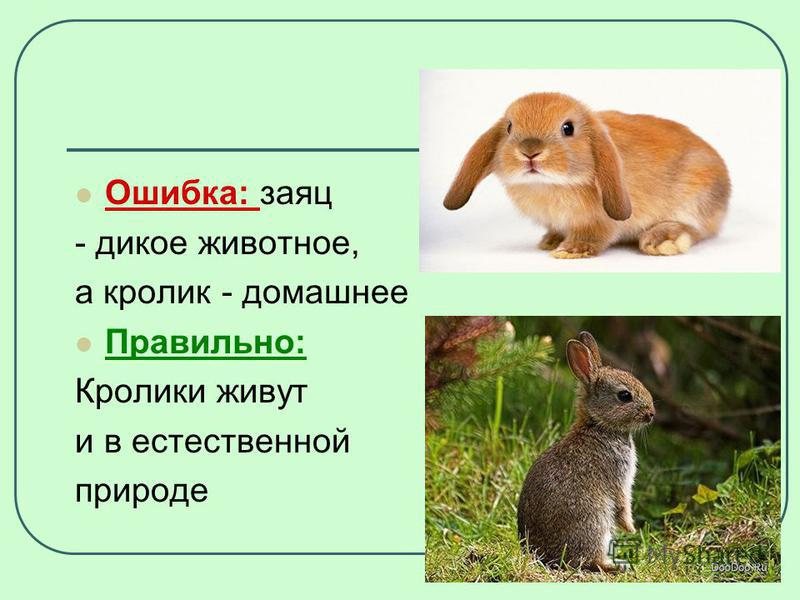 Ошибка: заяц - дикое животное, а кролик - домашнее Правильно: Кролики живут и в естественной природе