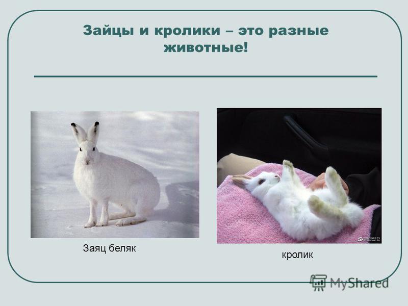 Зайцы и кролики – это разные животные! Заяц беляк кролик