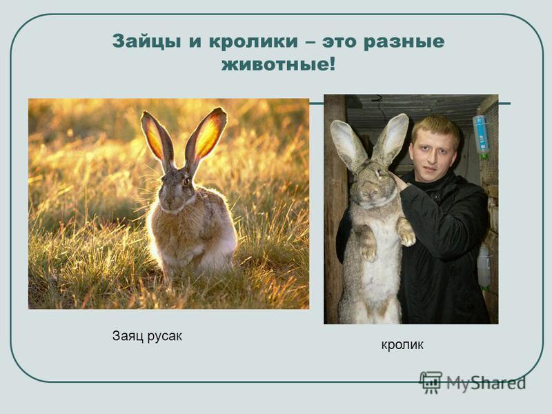 Зайцы и кролики – это разные животные! Заяц русак кролик