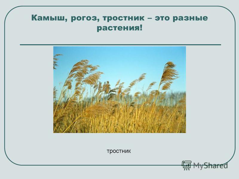 Камыш, рогоз, тростник – это разные растения! тростник