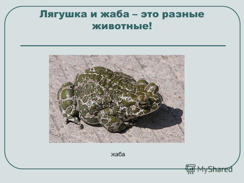 Лягушка и жаба – это разные животные! жаба