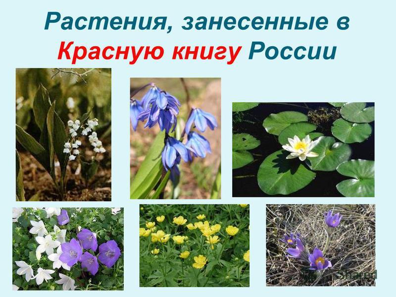 Растения, занесенные в Красную книгу России