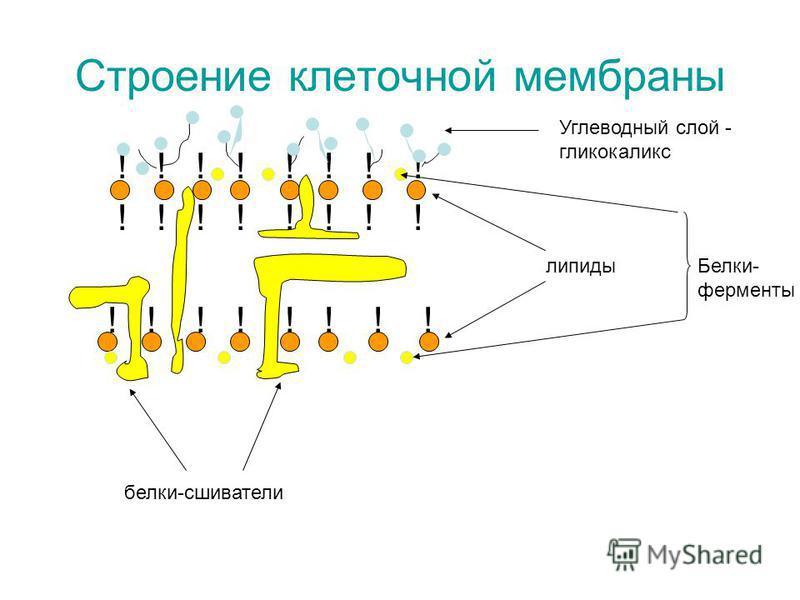 Строение клеточной мембраны ! ! ! ! ! ! ! ! липиды Углеводный слой - гликокаликс Белки- ферменты белки-сшиватели