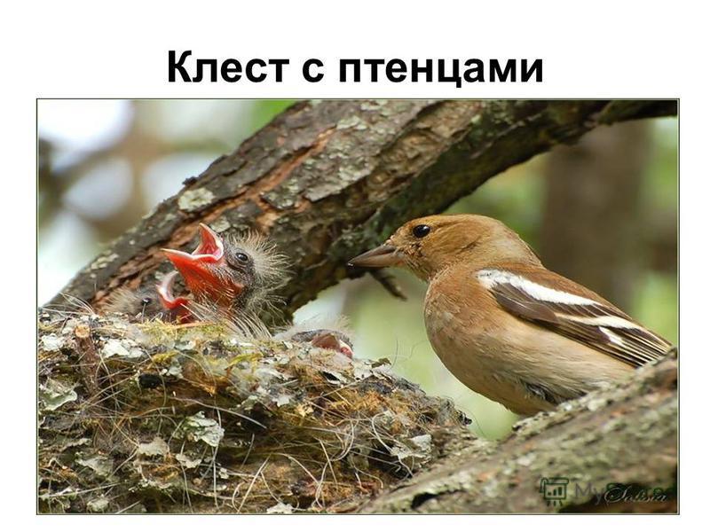 Клест с птенцами