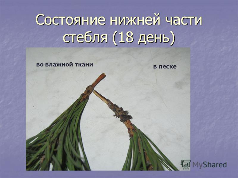 Состояние нижней части стебля (18 день) во влажной ткани в песке