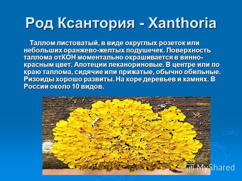 Род Ксантория - Xanthoria Таллом листоватый, в виде округлых розеток или небольших оранжево-желтых подушечек. Поверхность таллома отКОН моментально окрашивается в винно- красным цвет. Апотеции леканориновые. В центре или по краю таллома, сидячие или