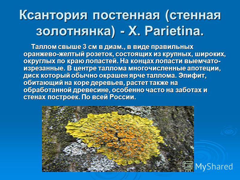 Ксантория постенная (стенная золотнянка) - X. Parietina. Таллом свыше 3 см в диам., в виде правильных оранжево-желтый розеток, состоящих из крупных, широких, округлых по краю лопастей. На концах лопасти выемчато- изрезанные. В центре таллома многочис