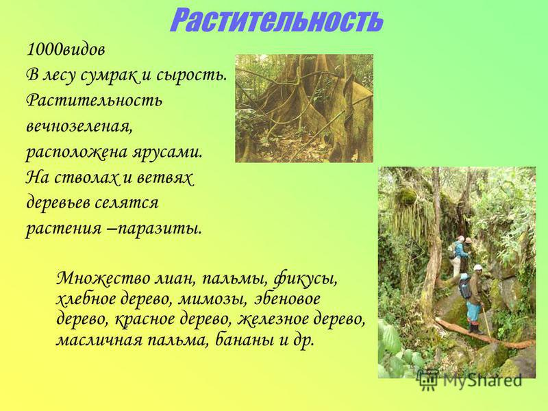 Растительность 1000 видов В лесу сумрак и сырость. Растительность вечнозеленая, расположена ярусами. На стволах и ветвях деревьев селятся растения –паразиты. Множество лиан, пальмы, фикусы, хлебное дерево, мимозы, эбеновое дерево, красное дерево, жел