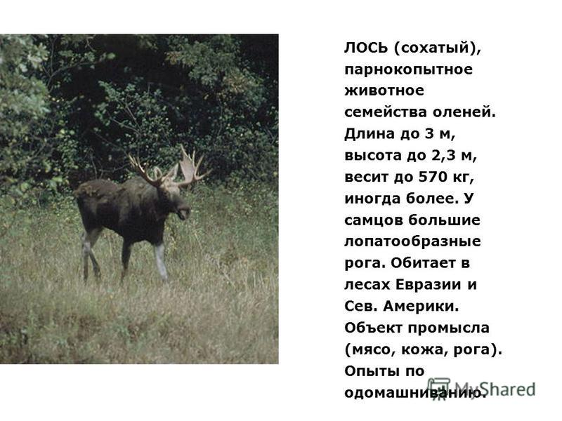 ЛОСЬ (сохатый), парнокопытное животное семейства оленей. Длина до 3 м, высота до 2,3 м, весит до 570 кг, иногда более. У самцов большие лопатообразные рога. Обитает в лесах Евразии и Сев. Америки. Объект промысла (мясо, кожа, рога). Опыты по одомашни