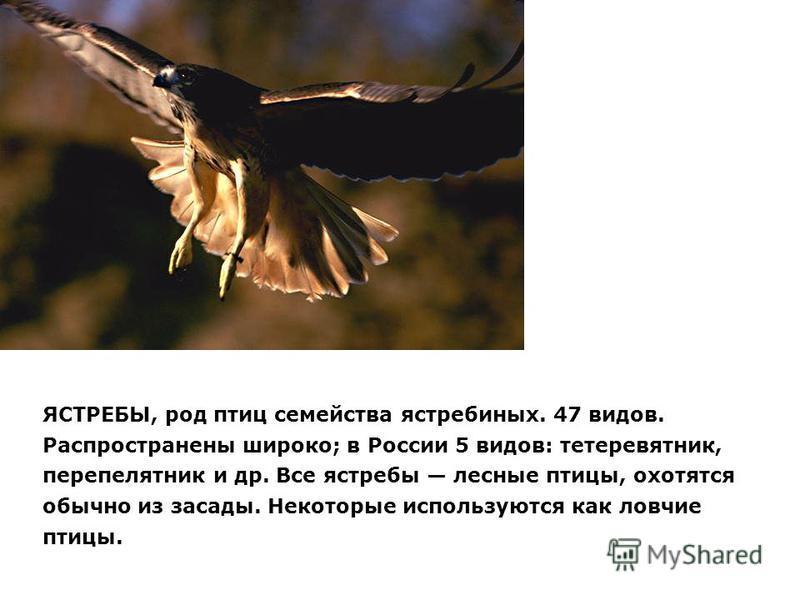 ЯСТРЕБЫ, род птиц семейства ястребиных. 47 видов. Распространены широко; в России 5 видов: тетеревятник, перепелятник и др. Все ястребы лесные птицы, охотятся обычно из засады. Некоторые используются как ловчие птицы.