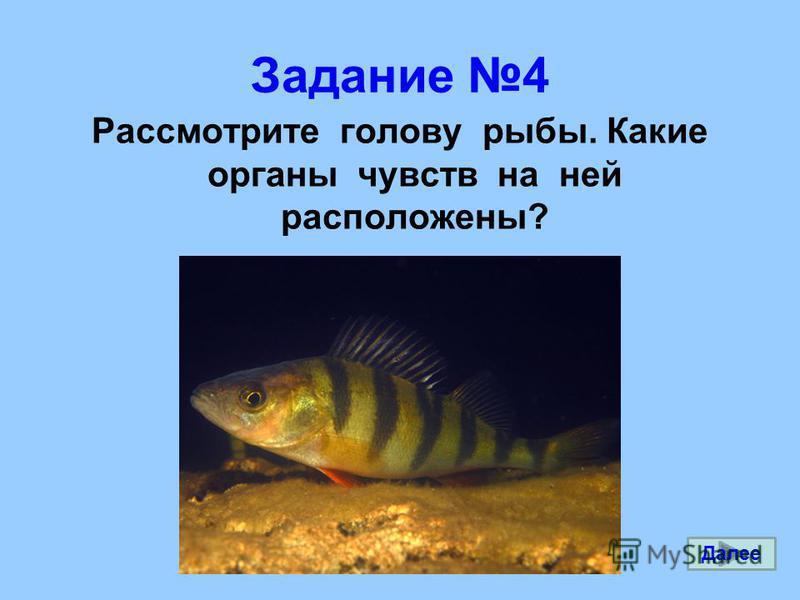 Задание 4 Рассмотрите голову рыбы. Какие органы чувств на ней расположены? Далее