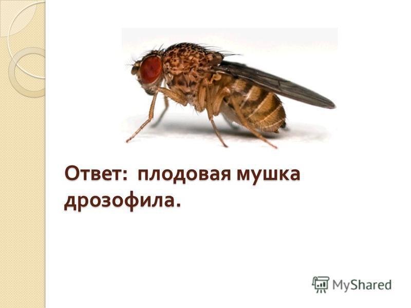 Ответ : плодовая мушка дрозофила.