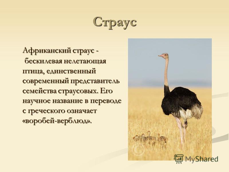 Страус Африканский страус - бескилевая нелетающая птица, единственный современный представитель семейства страусовых. Его научное название в переводе с греческого означает «воробей-верблюд».