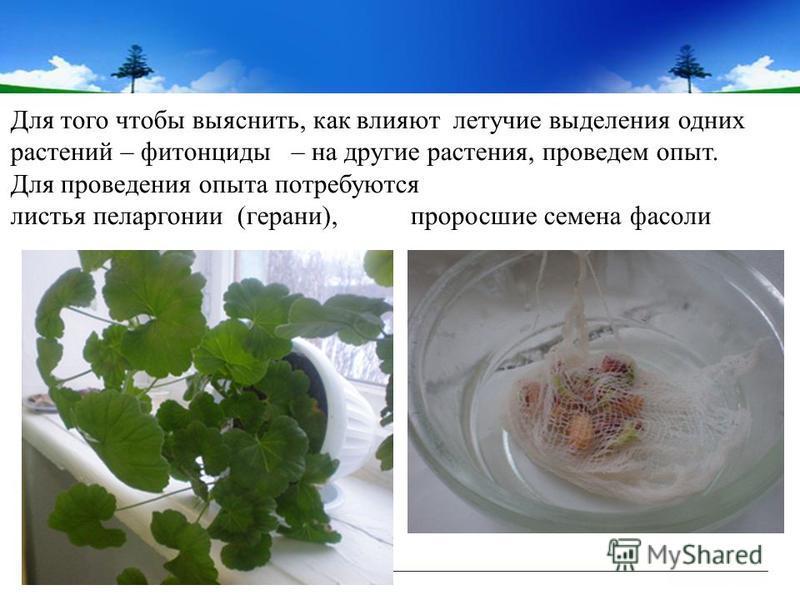 Для того чтобы выяснить, как влияют летучие выделения одних растений – фитонциды – на другие растения, проведем опыт. Для проведения опыта потребуются листья пеларгонии (герани), проросшие семена фасоли