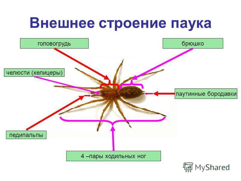 Внешнее строение паука головогрудь педипальпы 4 –пары ходильных ног брюшко паутинные бородавки челюсти (хелицеры)