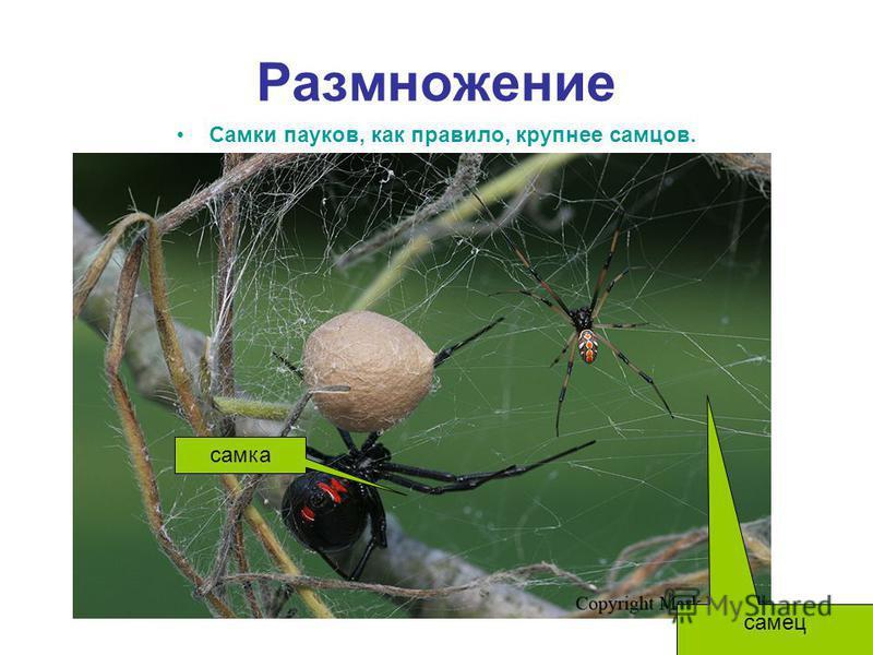 Размножение Самки пауков, как правило, крупнее самцов. самец самка