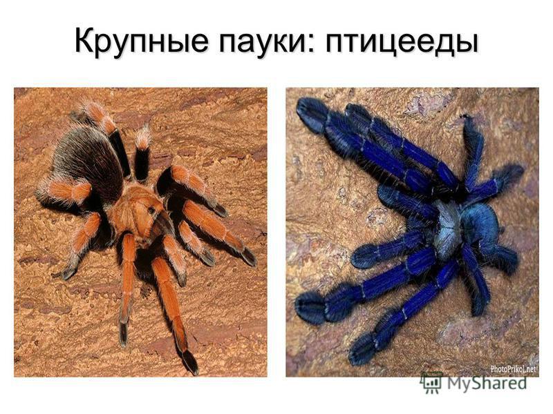 Крупные пауки: птицееды